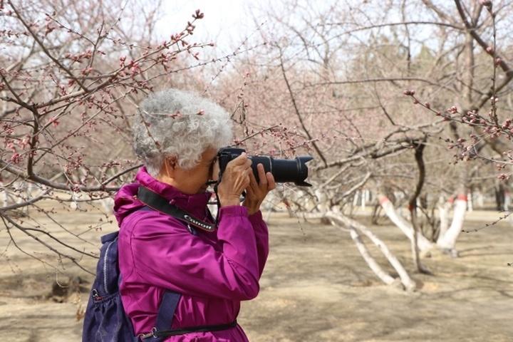呼市公主府公园的桃花开了 明日进入观赏佳期