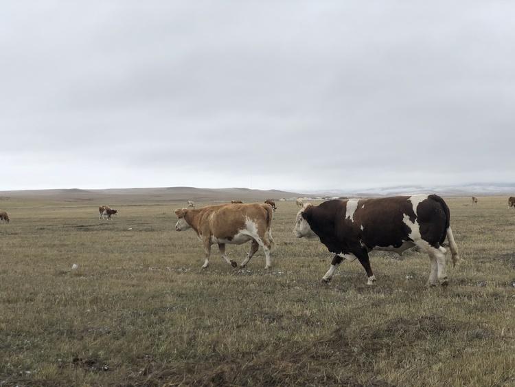 """昆明出台""""牛八条""""加快肉(奶)牛产业发展"""