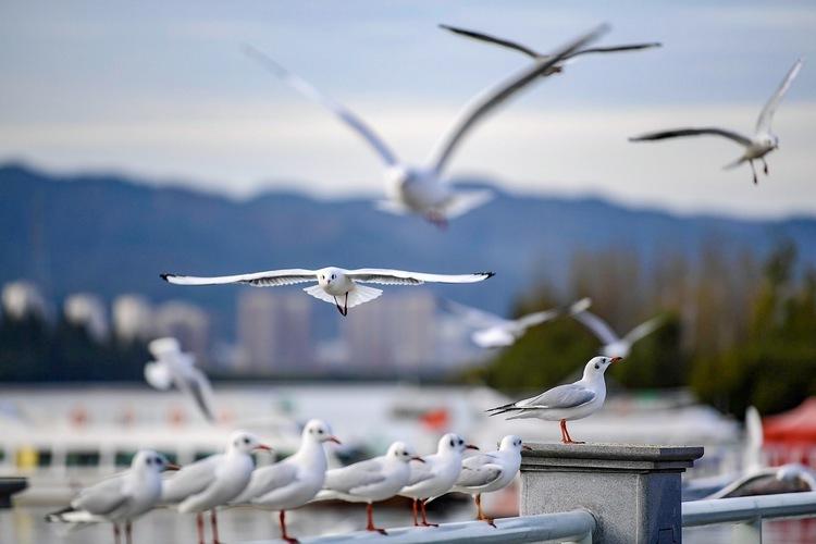 上万只海鸥抵达昆明滇池了 大部队还在银川一带