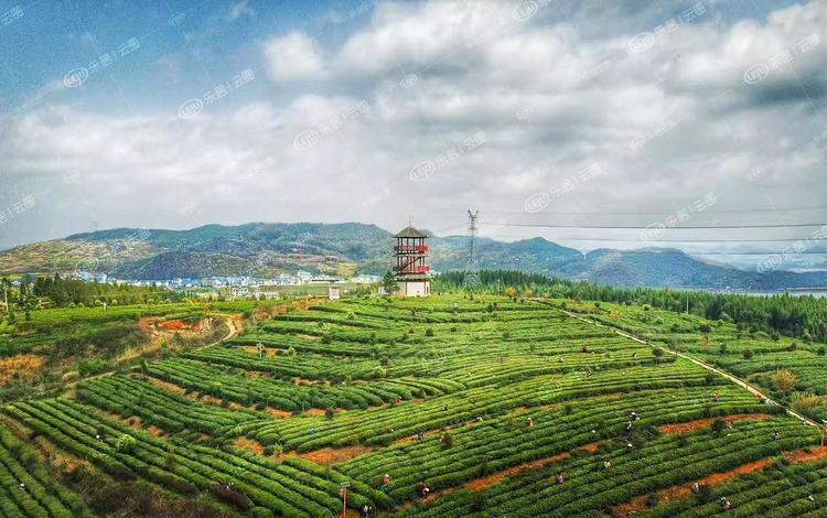 2020年云南茶业综合产值突破千亿大关 全省茶园面积超700万亩