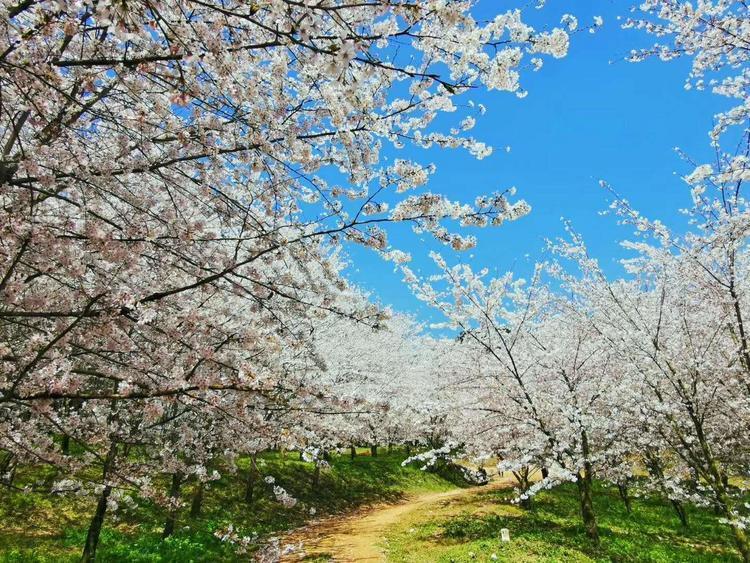 春来花开 快去昆明周边踏青吧